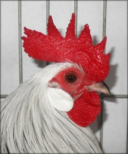 cockerel